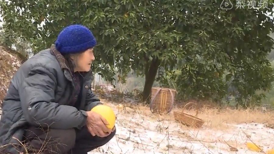 【影片】急哭了!步履蹣跚踏雪摘柚子 80歲奶奶淚崩:要救外孫女