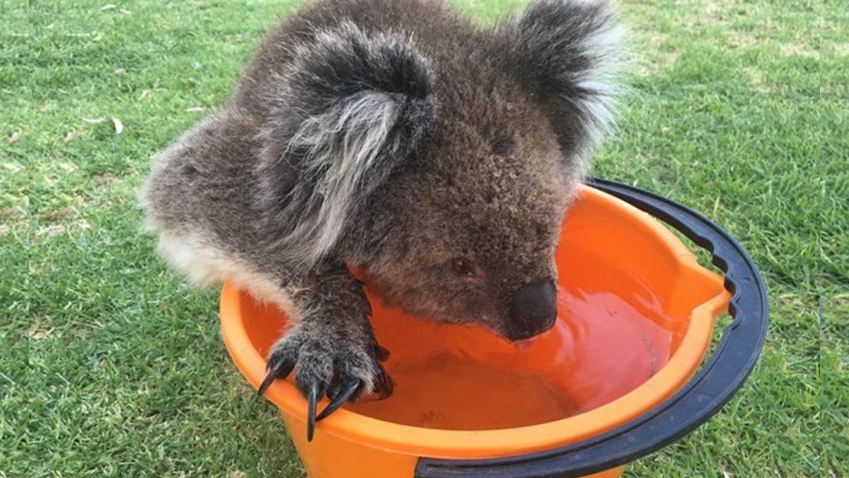 無尾熊向人類討水喝 狂灌20分鐘後…只好安樂死