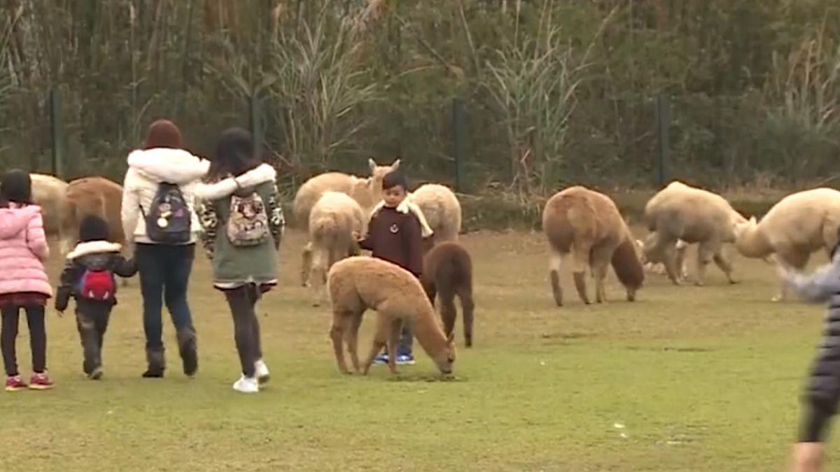 「綠世界」動物夯!可愛羊駝散步吸睛 鸚鵡表演迎客