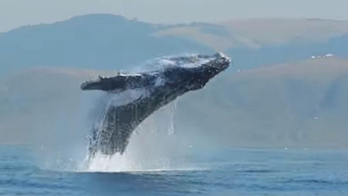 【影片】以為自己是海豚!40噸座頭鯨躍出海面 水花四濺超壯觀