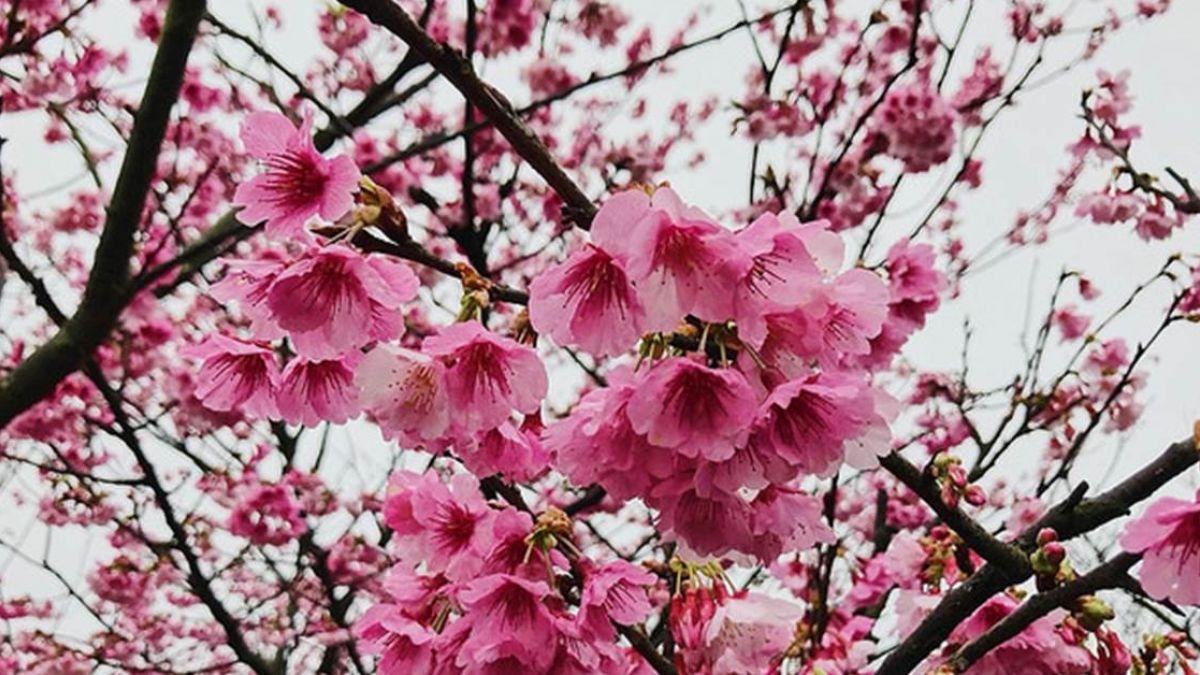 迎接櫻花季尾聲!台北各地賞花總整理 免出遠門也能當網美