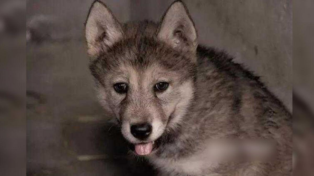 混入狼群娶妻還當爹!哈士奇的逆襲 網笑:真的是小狼狗