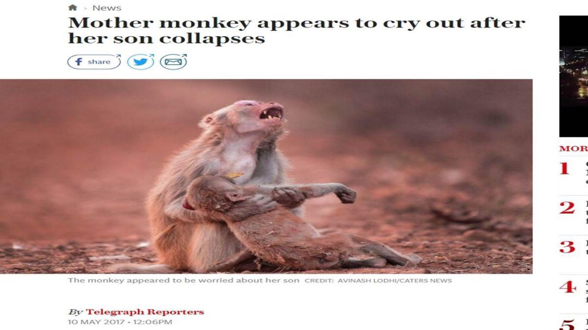 心碎!猴媽抱昏迷兒痛哭 攝影師紀錄下鼻酸一幕