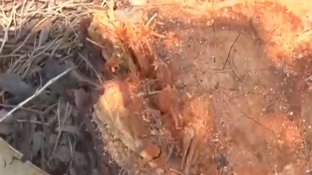 疑偷樹製「文昌筆」 2墓園遭砍28棵龍柏