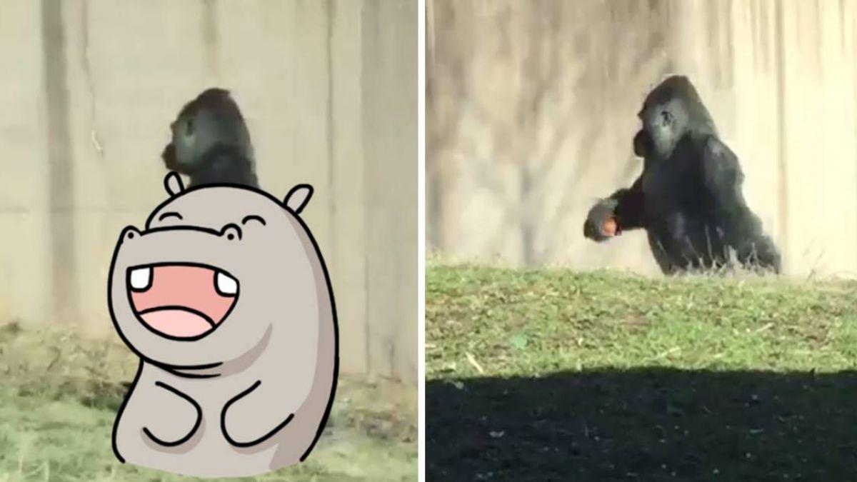 【影片】「潔癖」大猩猩走路超霸氣 網笑歪喊:工讀生出來
