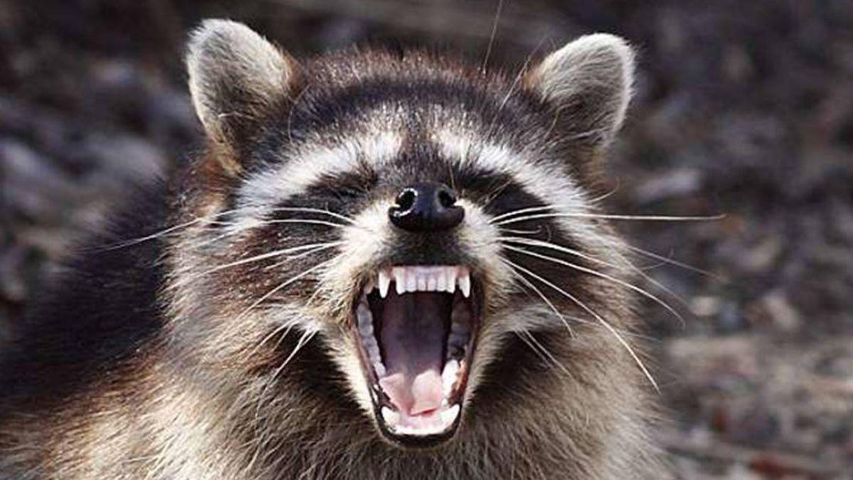 美驚見「殭屍浣熊」…疵牙裂嘴又雙腿站立 詭異行為引民恐慌