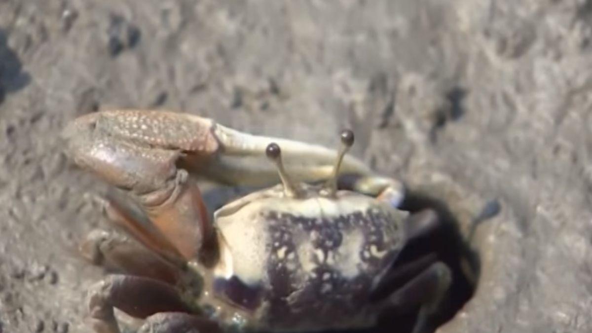 心痛!跨高美濕地木棧道 數百招潮蟹遭踩死