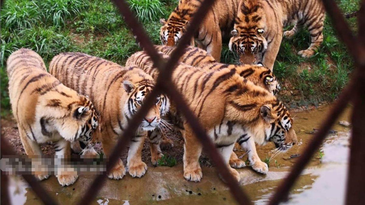 飼養員被老虎撕咬慘死!照片曝光…網力挺「讓牠吃飽」