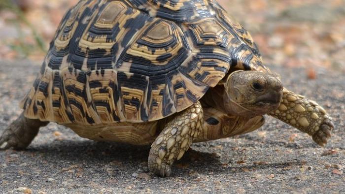 神龜出世?「雙頭龜」破殼而出 民眾瘋搶求明牌