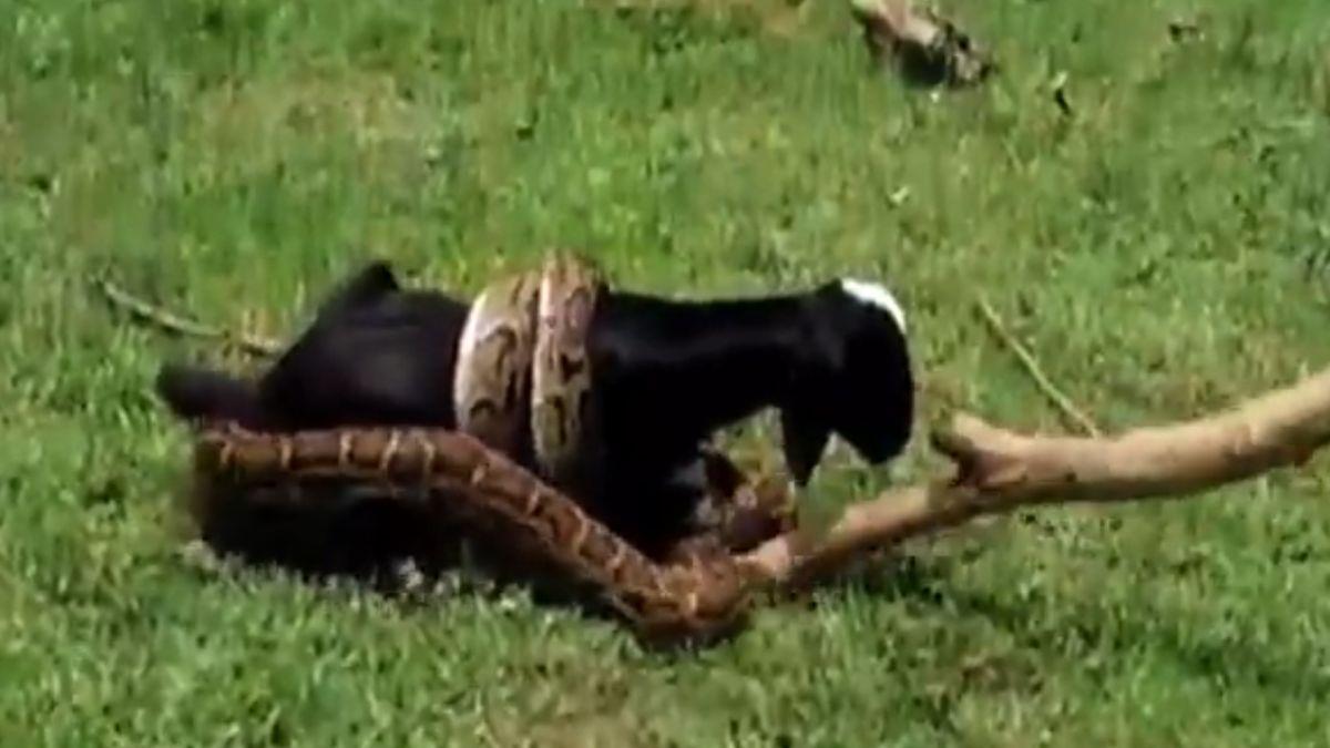 印度巨蟒緊纏小羊 村民棍棒毆打急救援