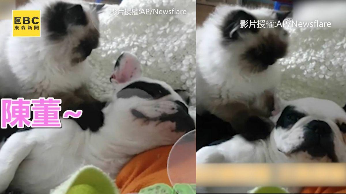 超萌!貓幫狗按摩:陳董 這個力道可以嗎?