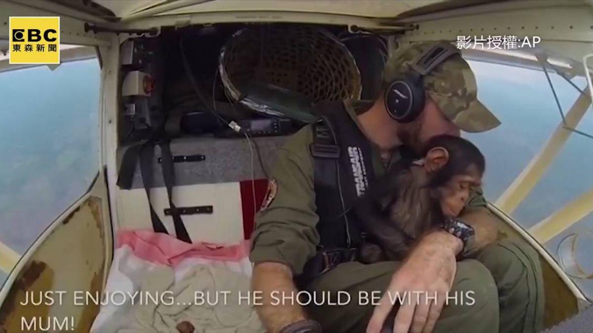 小猩猩遭獵殺獲救 坐飛行員懷裡感動網友