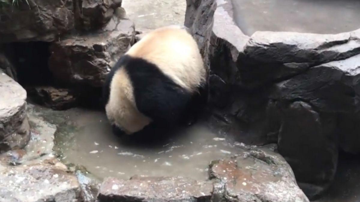 卡哇伊!頭好癢怎辦?大貓熊洗給你看