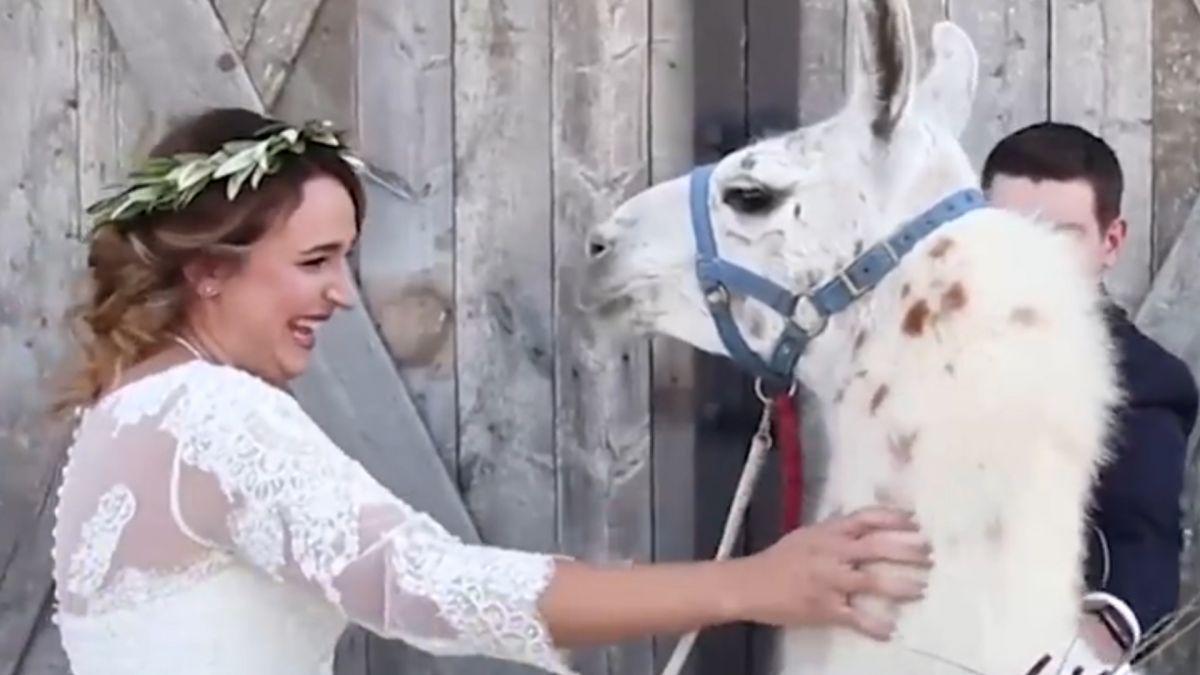 圓夢!最愛的「草泥馬」現身婚禮 新娘激動落淚獻吻