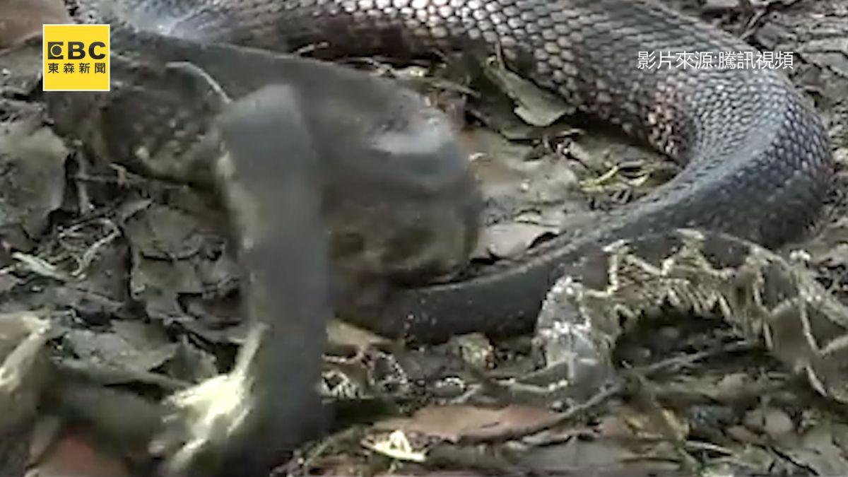 百步蛇VS.響尾蛇 生死對決 勝負竟在瞬間分出