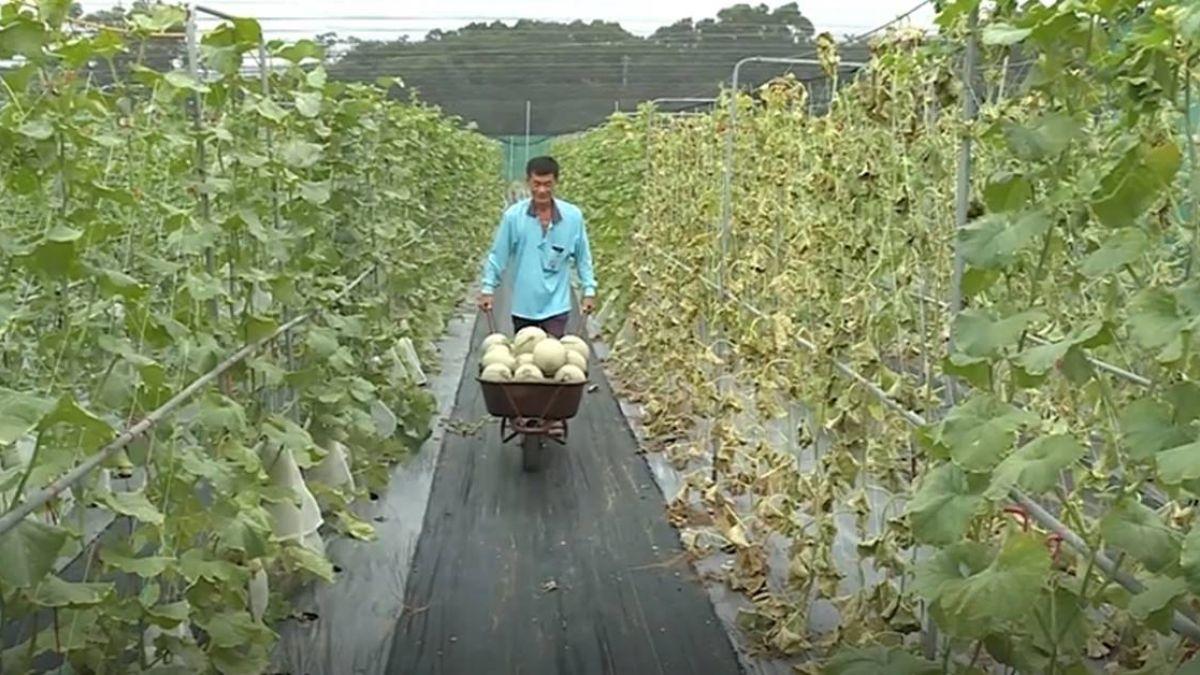 「不要跟天賭」 憂豪雨影響收成 農民搶收哈密瓜