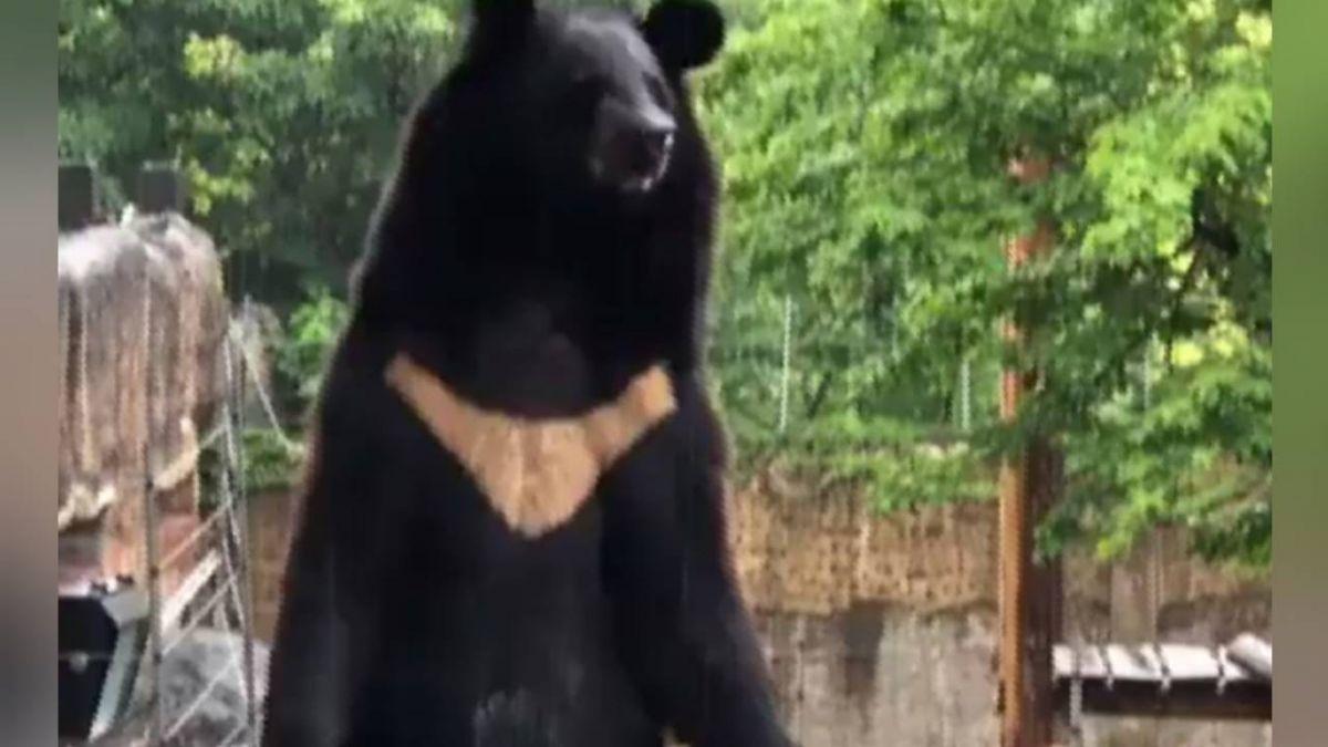 黑熊「波比」雨中淡定盤腿打坐 網笑噴:工讀生別裝了!