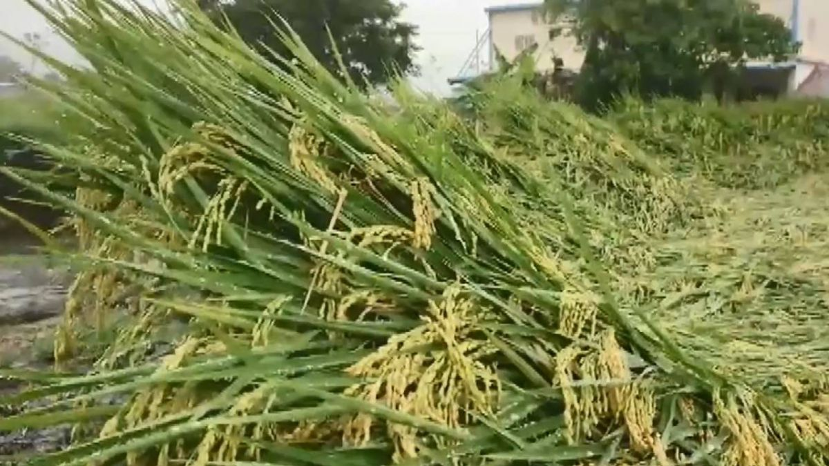 大雨下不停!台東一期稻作零星倒伏