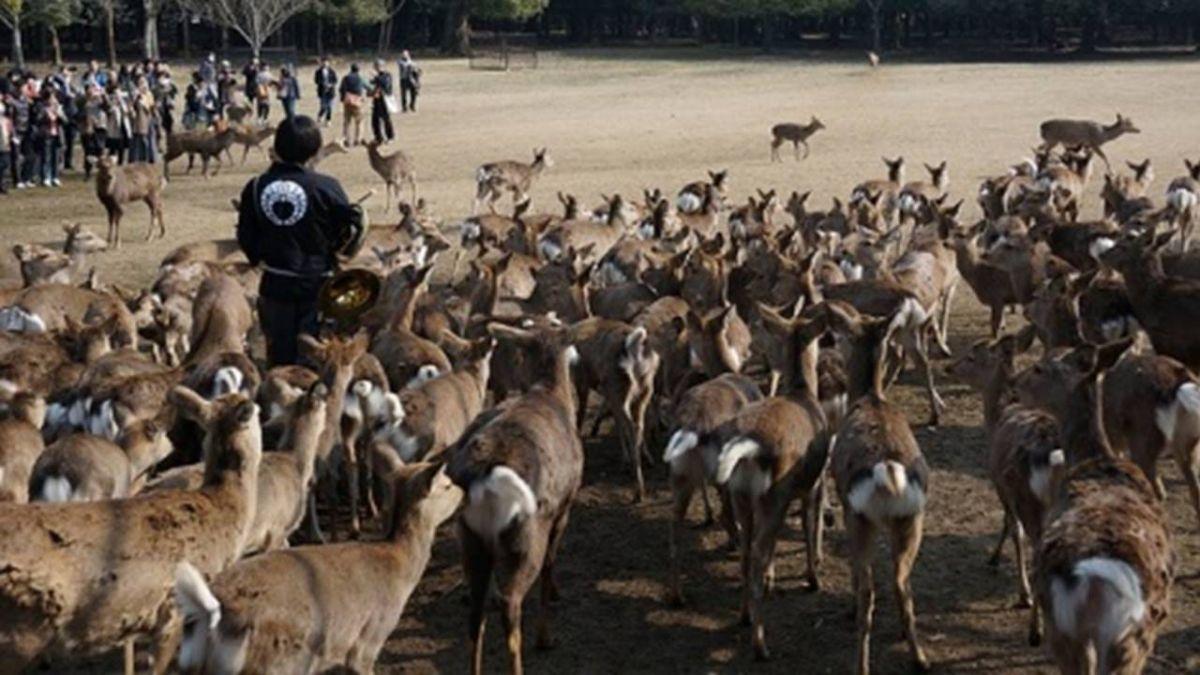 強震有預兆?奈良鹿集體「落跑」 女大生:還以為是去吃草