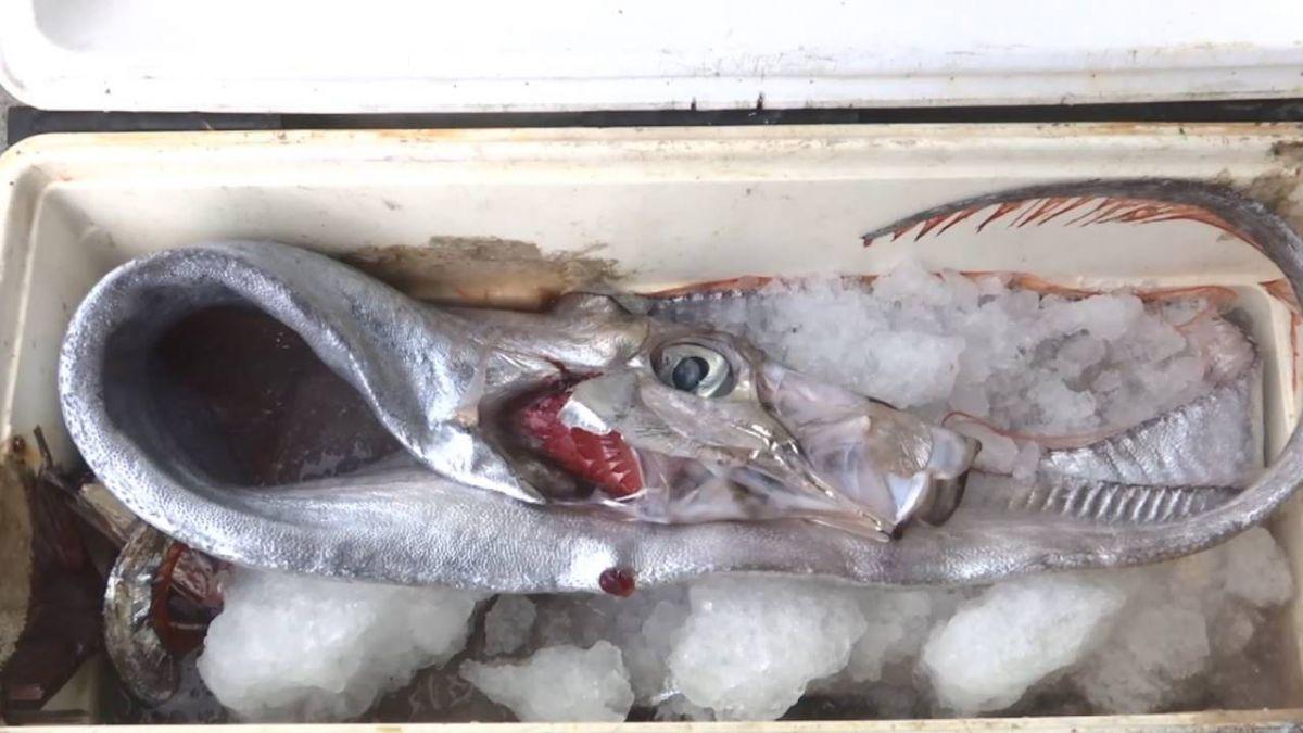 奇景!台東2天釣15隻地震魚 蘭嶼海蟲大爆發