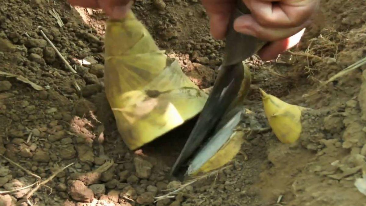 新北綠竹筍正當時 產區體驗採筍趣