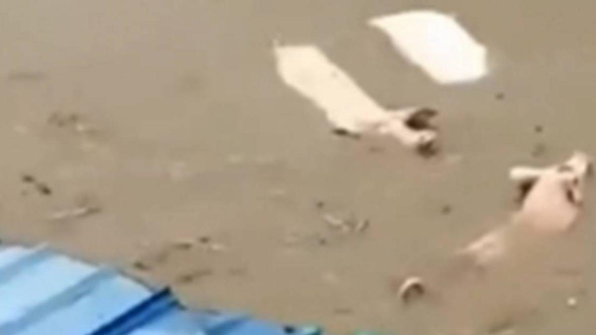 四川成都遭暴雨襲擊!養豬場變水池 豬隻水裡飄