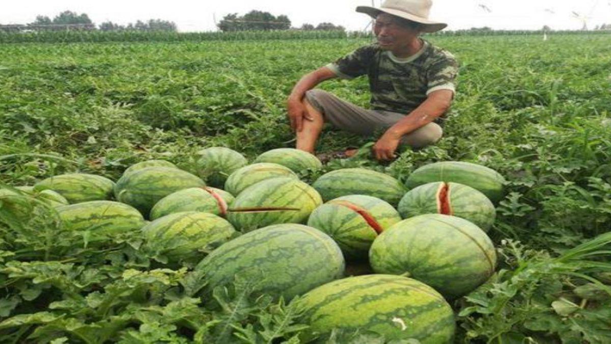 再10天豐收…全都毀了!2萬多斤西瓜被砍爛 老農哭癱