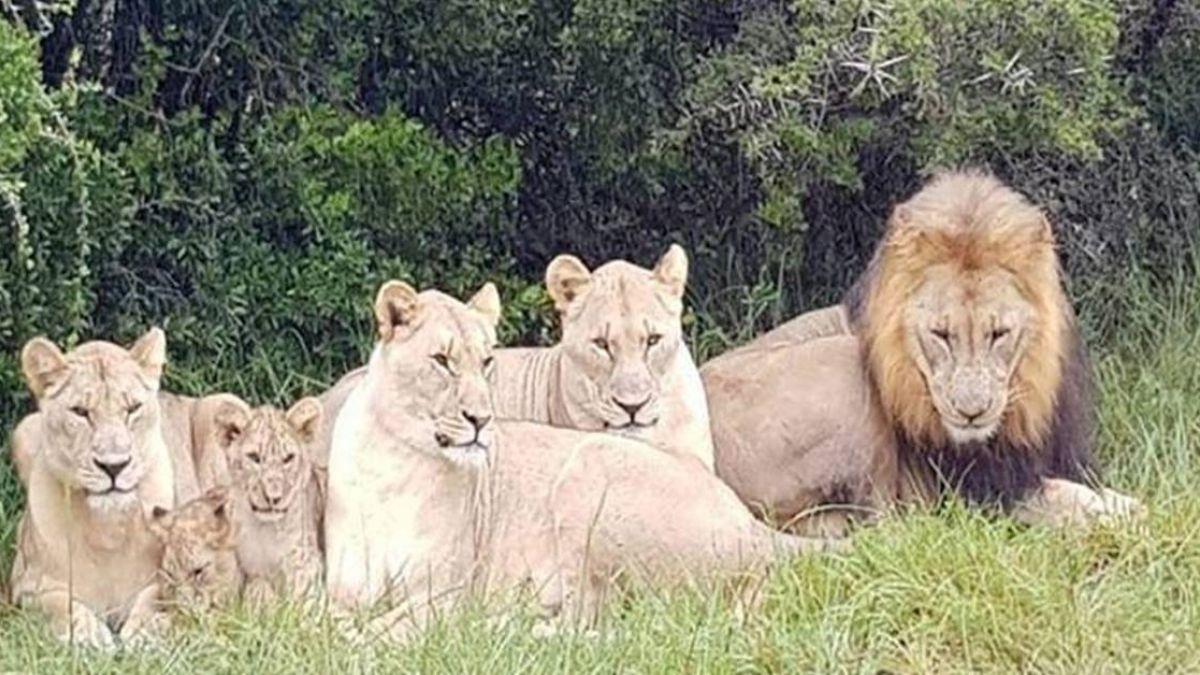 現世報?獵人盜獵犀牛 慘遭獅子分屍斷頭吞肚
