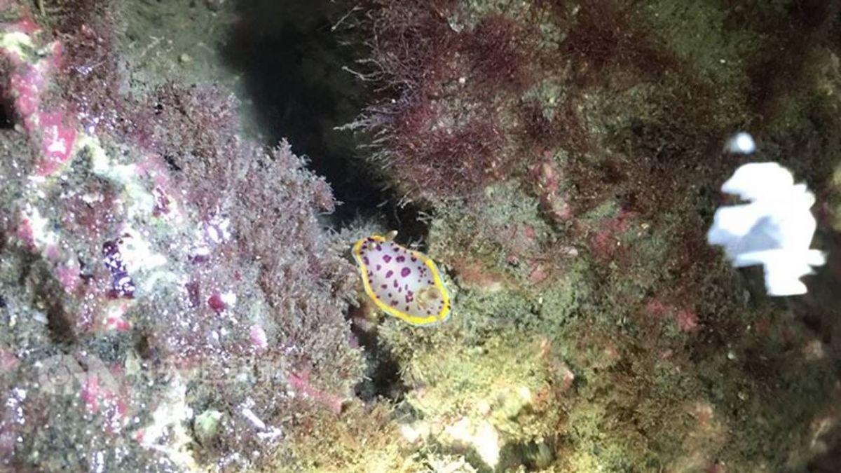 小丘多彩海蛞蝓現蹤大潭藻礁