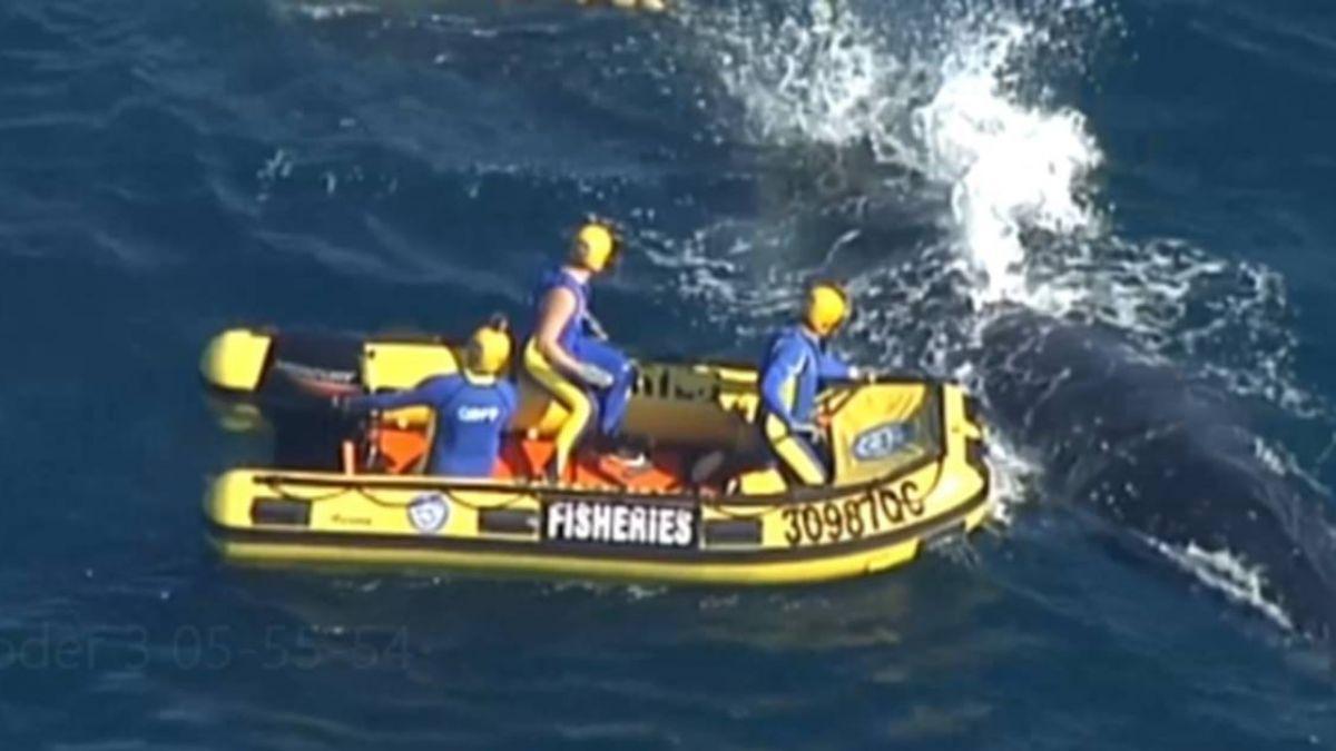 座頭鯨纏網…翻肚求生掙扎 保育人士急救援脫困