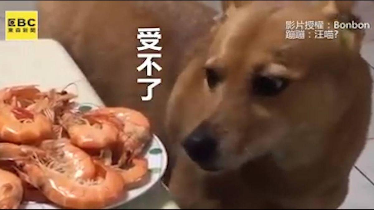 蝦子大餐太誘惑 汪汪憋到跳虐心舞