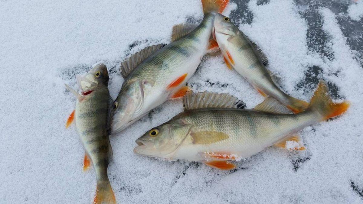 鱸魚也可做優格!腸道篩出乳酸菌…口感滑順