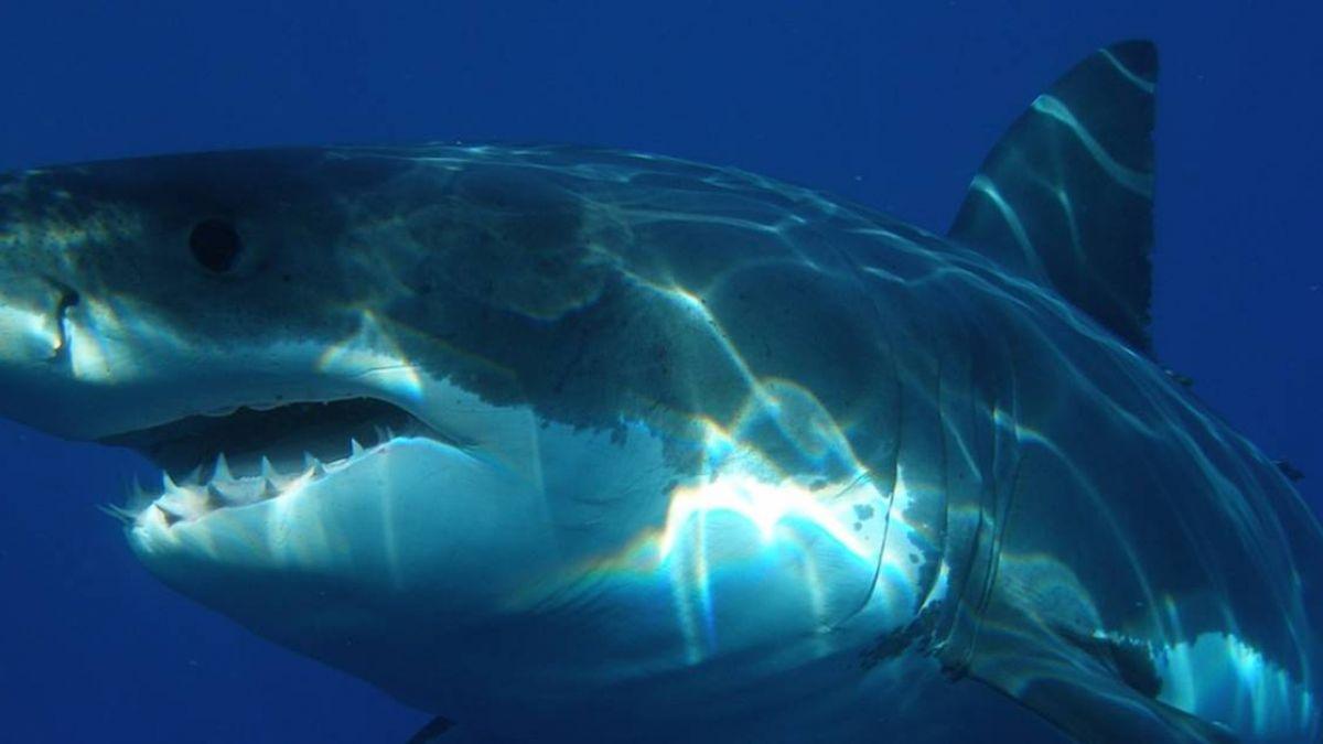 潛水驚見6M鯊慘遭管線綑 生物學家一家海中救援