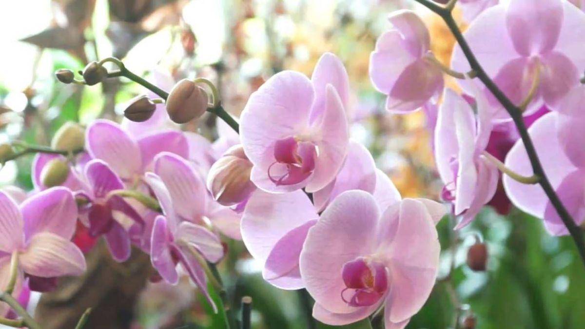 紐約客驚艷 台灣蘭花第5度在植物園展出