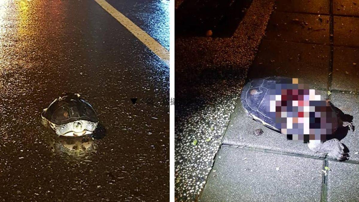 烏龜爆殼躺馬路「心臟還會跳」 他打電話求救被酸爆!
