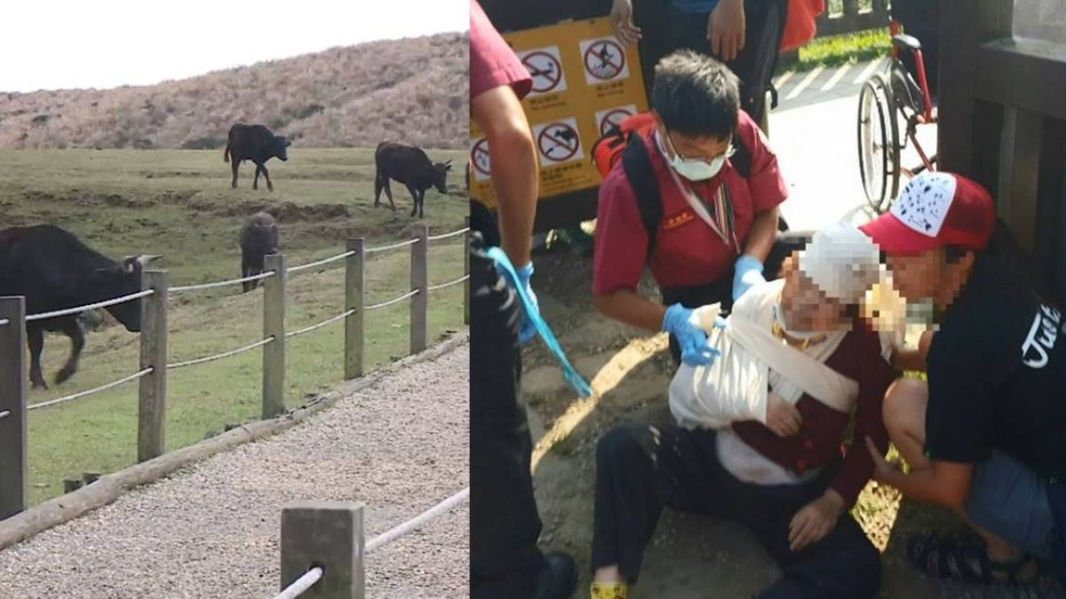 86歲老婦遭擎天崗公牛撞斷肋骨 兩周後過世