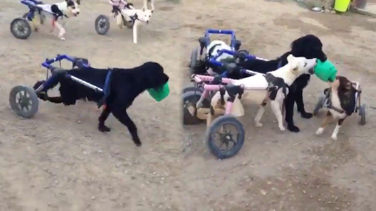 牠沒有不同!癱瘓犬遭棄養重生 「拖輪椅」飛奔與同伴搶球