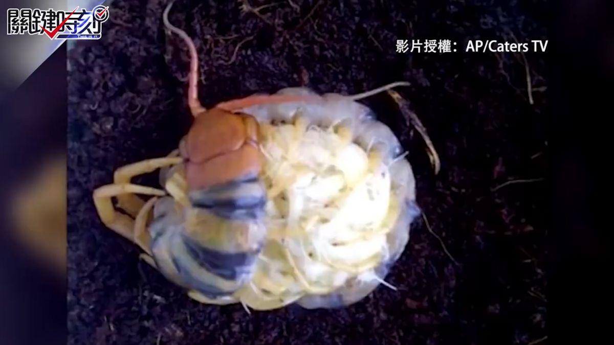 母愛讓你嘎冷筍!高清蜈蚣抱卵看到叫母湯