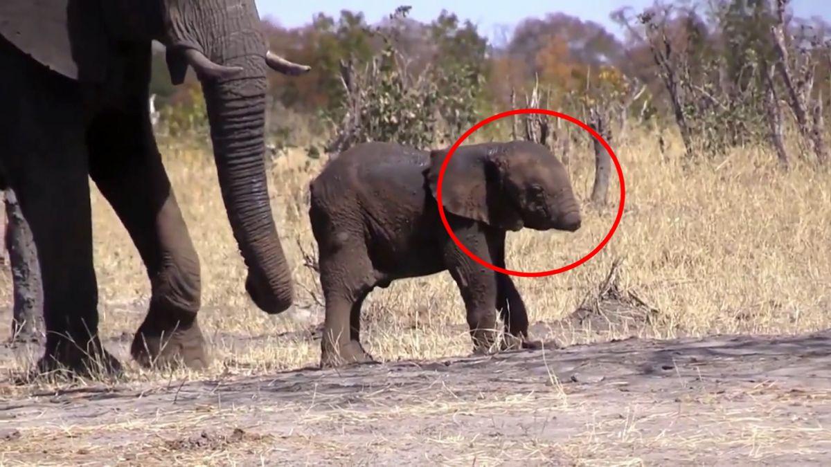 鼻子對牠超重要! 南非可憐小象「連根斷」恐難活命