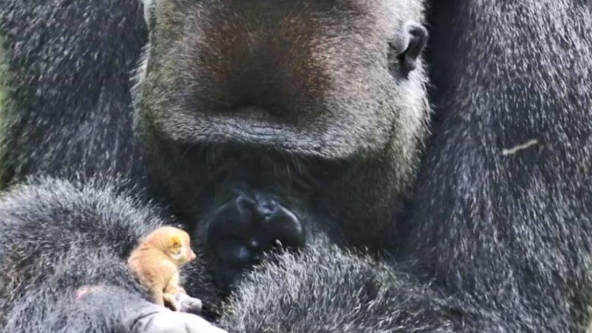 最萌畫面!大猩猩捧「手指大嬰猴」玩耍 網感動:溫柔的巨人