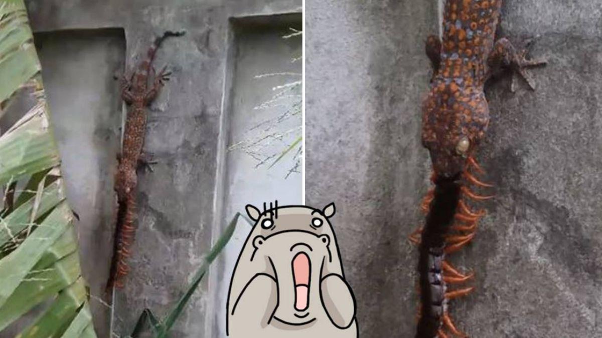 遭白眼壁虎猛吞!巨腳蜈蚣「狂扭」逐漸母湯 網嚇壞:阿娘威