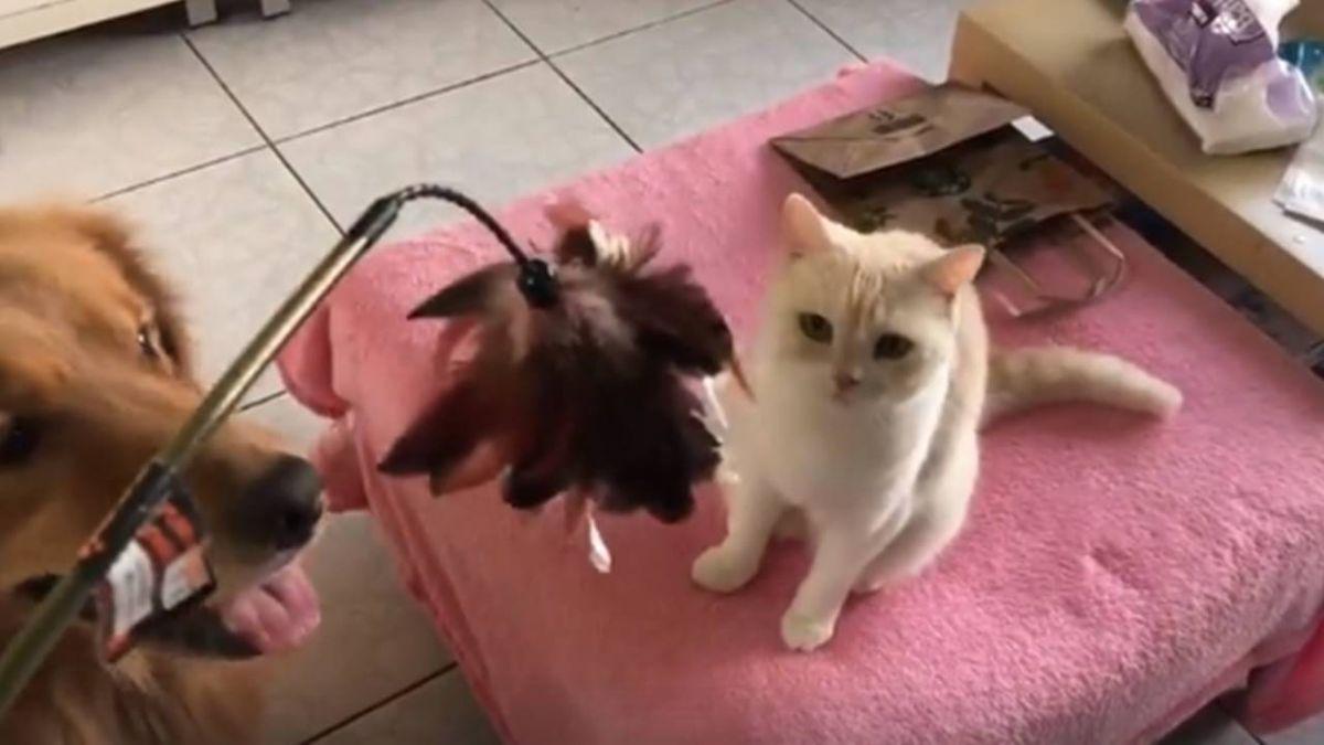 阿金搶玩逗貓棒超興奮!三貓淡定斜眼:到底誰才是貓