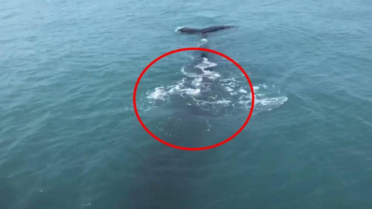 坐船20年沒遇過!小琉球客輪巧遇巨鯨 14秒萌游超療癒
