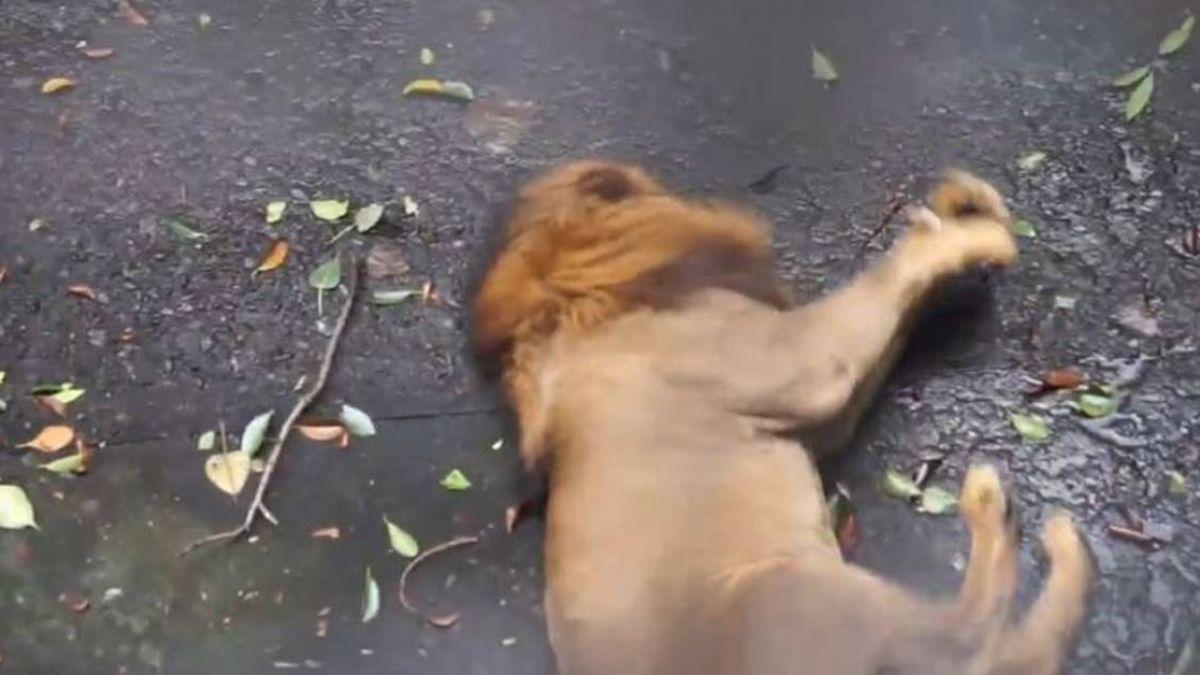 5歲獅呼吸急促 躺地痙攣!47秒影片曝光 網不捨淚崩