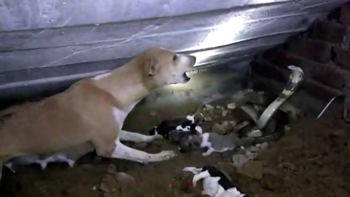 偉大!整窩狗寶寶差點被吃掉 狗媽媽奮戰勇撲眼鏡蛇