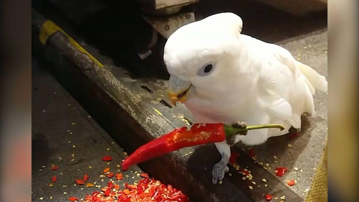 四川來的?重口味鸚鵡狂吃辣椒 網友驚呼:會不會變火焰鳥