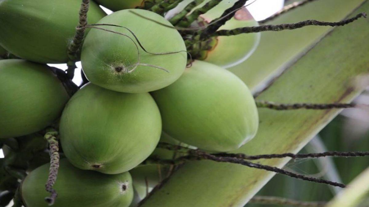 泰國椰子豐收價格暴跌  椰農叫苦連天