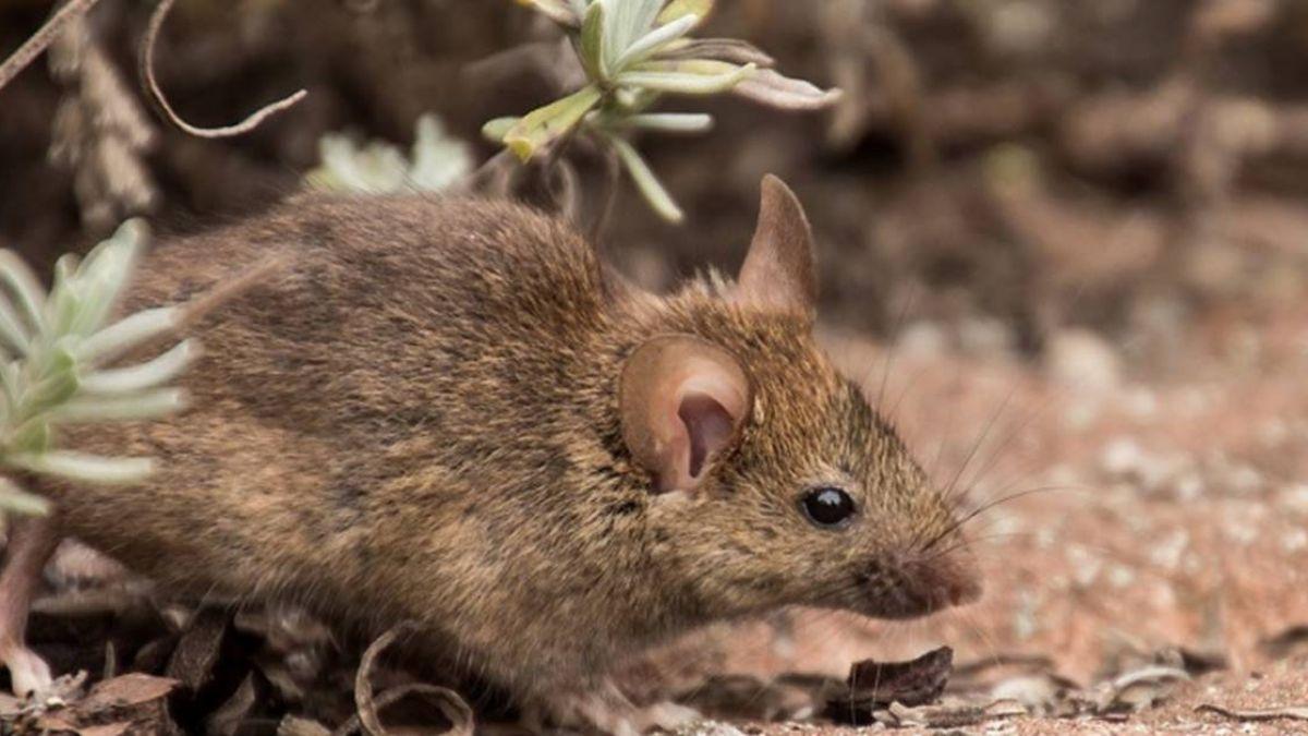港發現老鼠傳染人類E型肝炎 全球首例