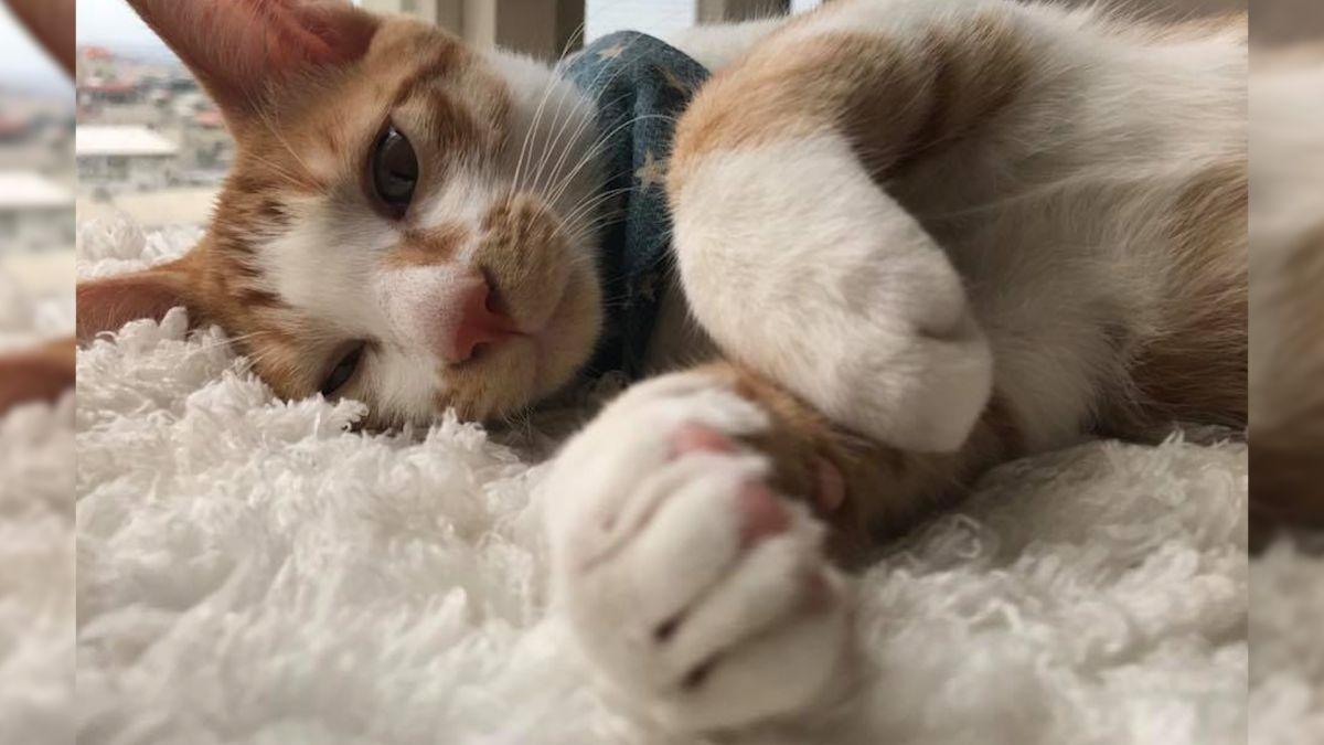 貪吃貓討罐罐 竟秀中文「快拿來」 網友融化:給牠多吃一點吧!
