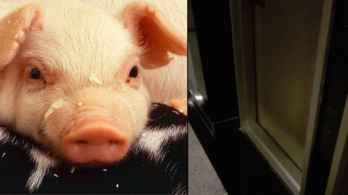 鄰居情侶深夜「殺豬」 影片曝光驚呆網友:是美環?